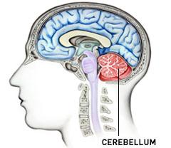 cerebellum2.jpg